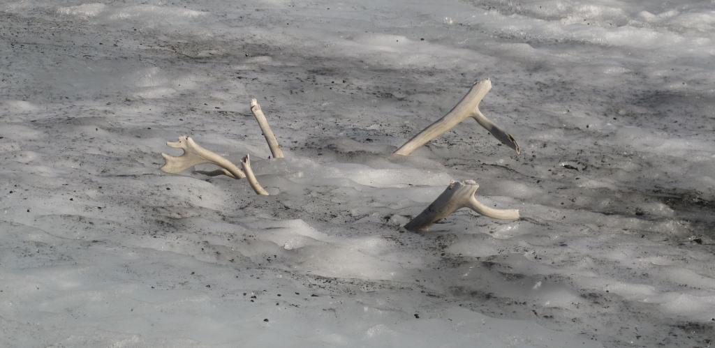 Gevir av rein i snøfonn. Foto: Tord Bretten.
